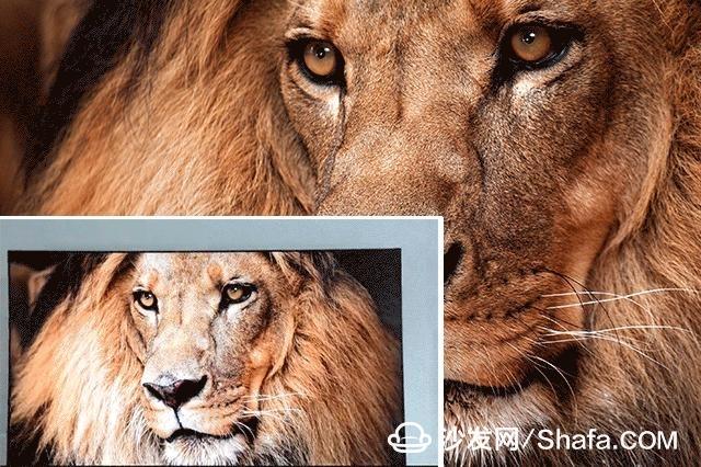 首先我们来分享一张动物图,狮子的画面和毛发几乎是清晰可见.